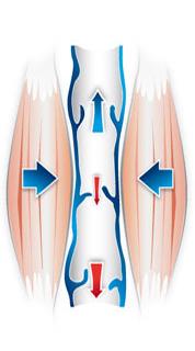 Ucisk mięśni wciąż ma duże znaczenie w utrzymywaniu prawidłowego przepływu krwi.